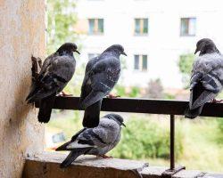 Comment en finir avec les salissures causées par les pigeons ?