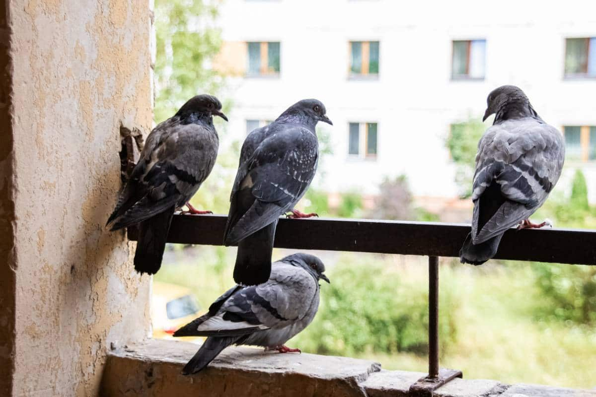salissures-pigeons-comment-causees-finir