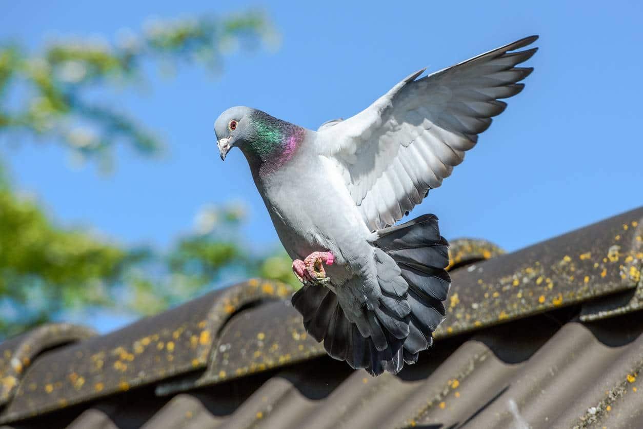 pigeons salissure appareil